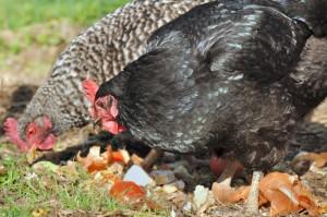 réduire les déchets avec poules