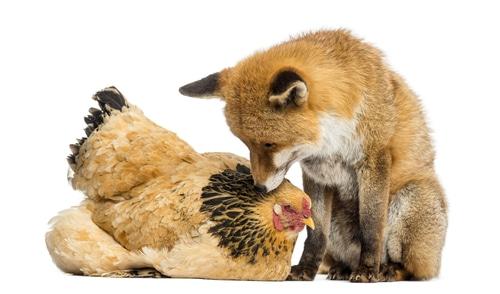 renard et poule