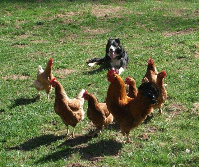 chien et poules