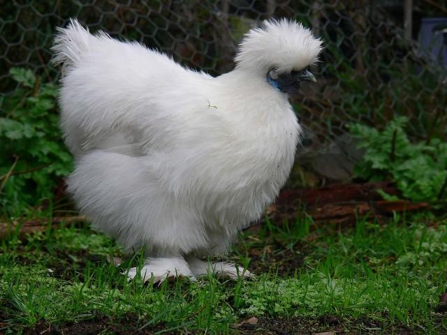 La race nègre soie ou poule soie est l'une des plus prisés dans le domaine des poules d'ornements, d'autant plus qu'il existe plusieurs variétés de couleur.