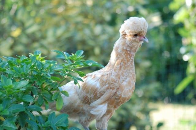 La poule Padou séduit beaucoup d'amateurs grâce à sa huppe volumineuse et sphérique. Elle est également une excellente pondeuse.