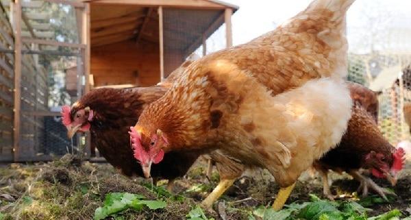 Conseils pour lever des poules en ville - Elever des poules en ville ...